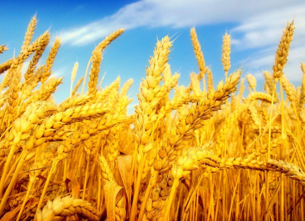 Технология посева зерновых культур без ошибок