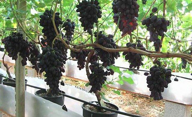 Виноград на подоконнике+