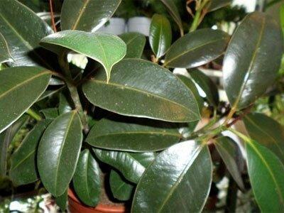 Вечнозеленое дерево фикус